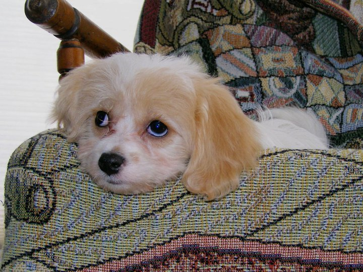 Resident Cavachon at Housekaboodle
