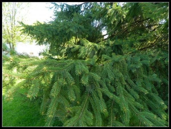 Backyard Evergreen
