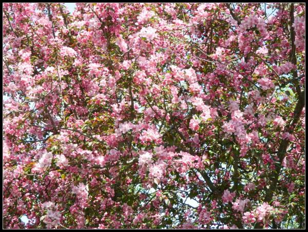 Flowering crabapple tree closeup