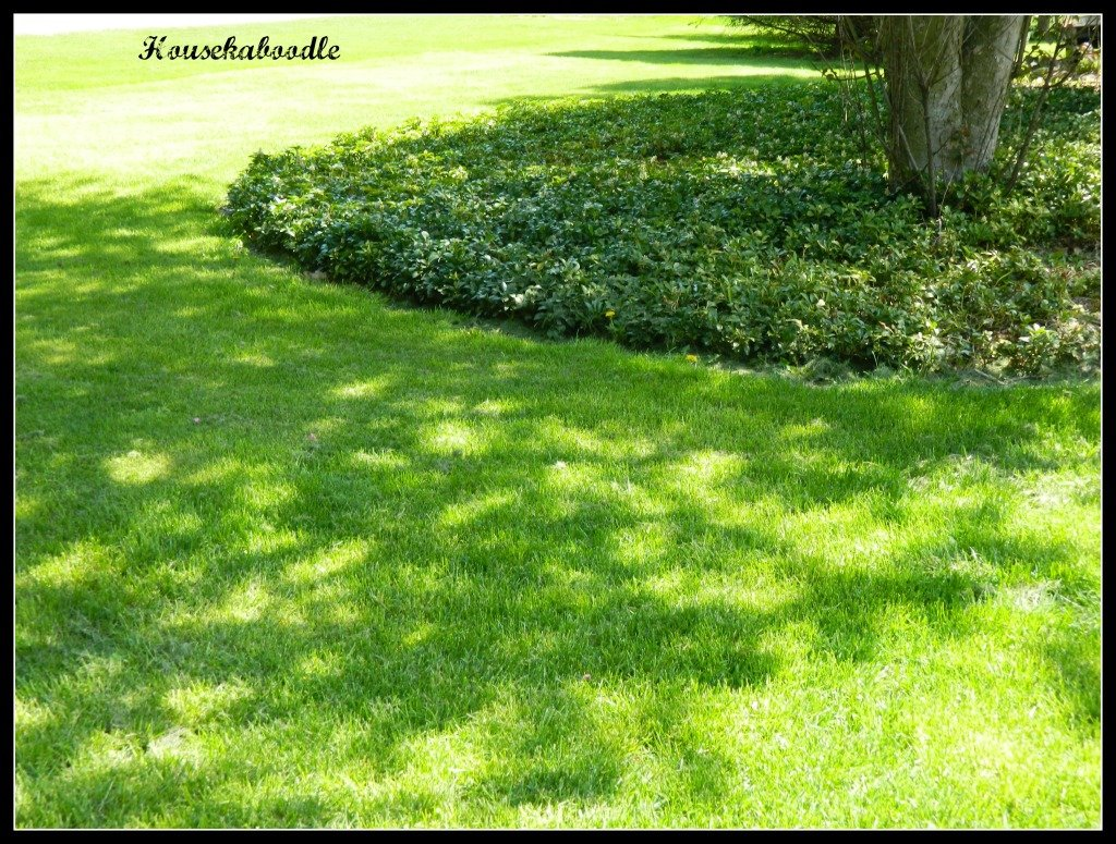 Pachysandra ground cover - Housekaboodle