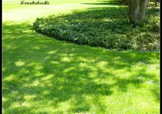 Pachysandra ground cover