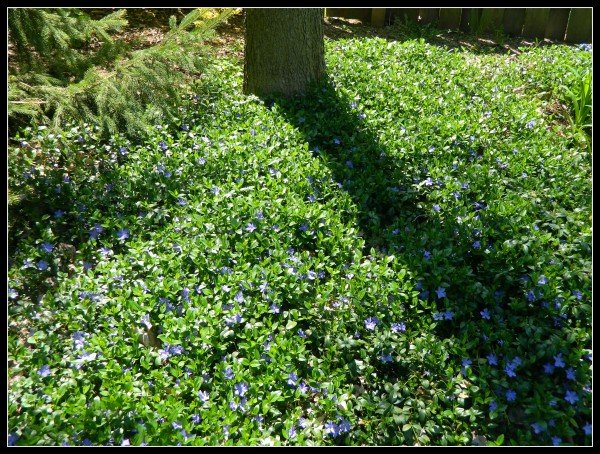 Periwinkle Ground Cover under tree