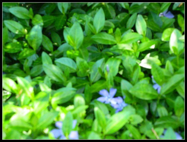 Periwinkle ground cover