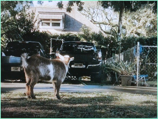 Poppy pygmy goat -the Descendants