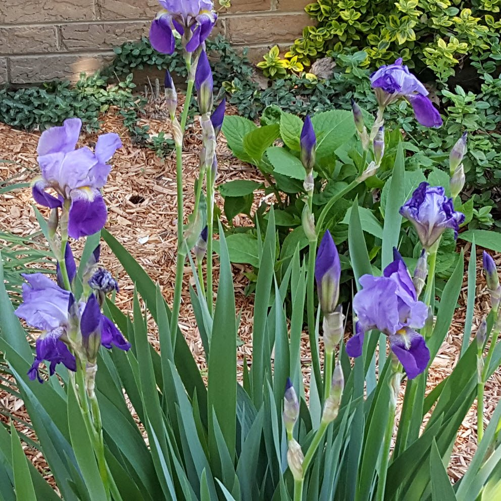 Purple Iris - Housekaboodle