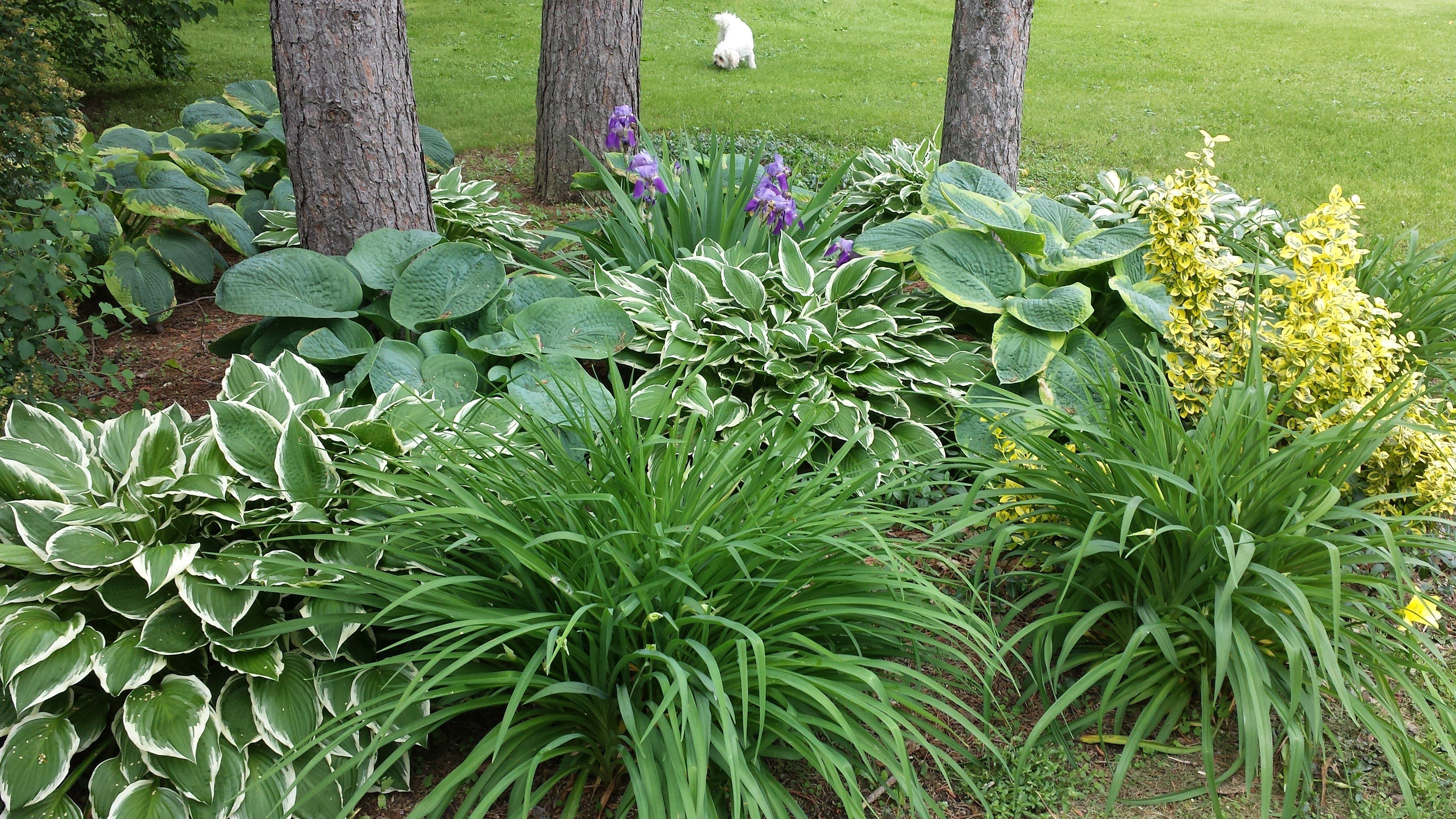 Day Lilies And Hostas Shade Garden