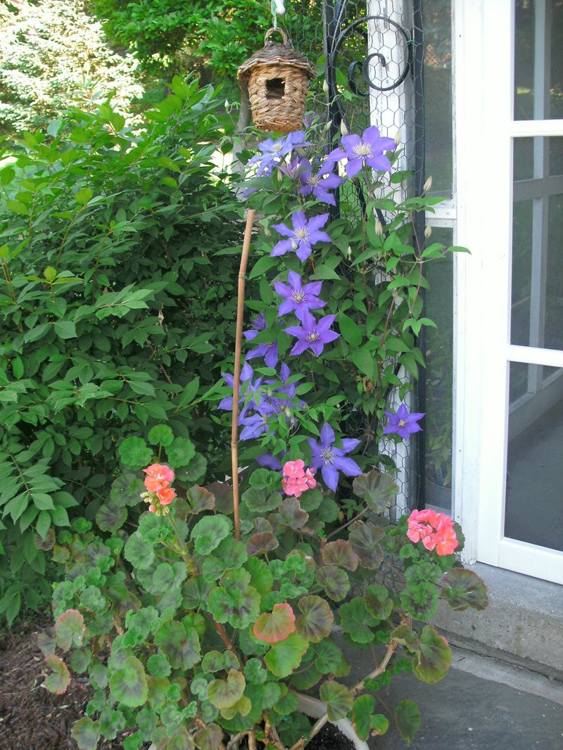 Clematis climbing up the side of cute cottage